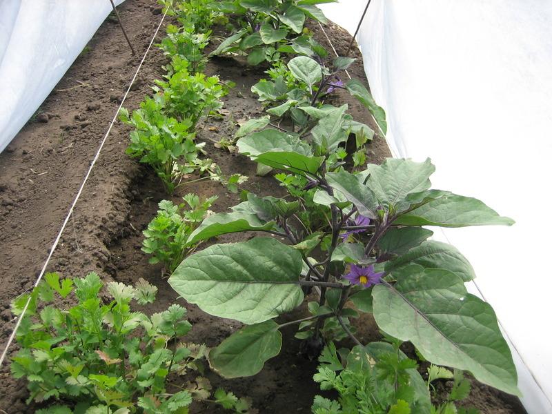 Выращивание баклажанов в теплице из поликарбоната в подмосковье 55