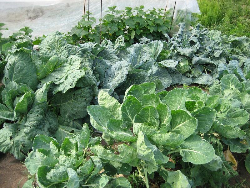 Капуста белокочанная выращивание подкормка 100