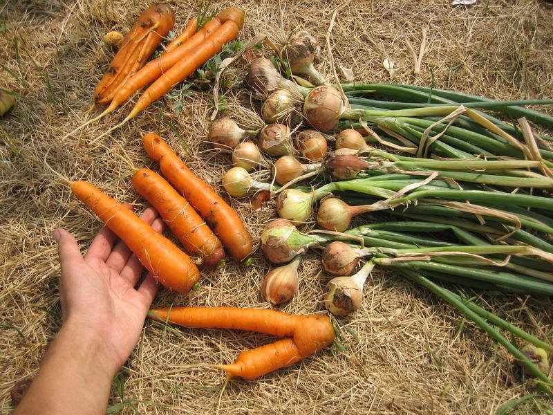 Лук сажать с морковью