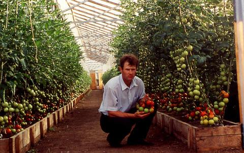 Урожай томатов в
