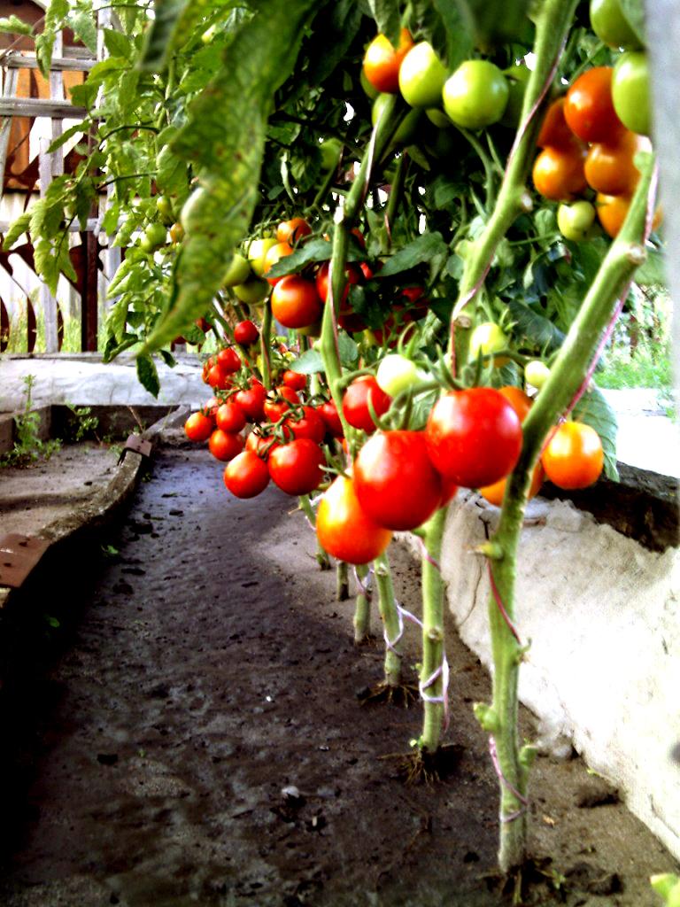 Выращивание томатов видео 89