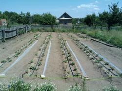 1,5 сотки 9-ти метровых гряд с бататом и установленный капельный полив.