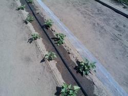 Эффект: окончание капельного полива (через полчаса). Стала влажной поверхность гряды между рядами.